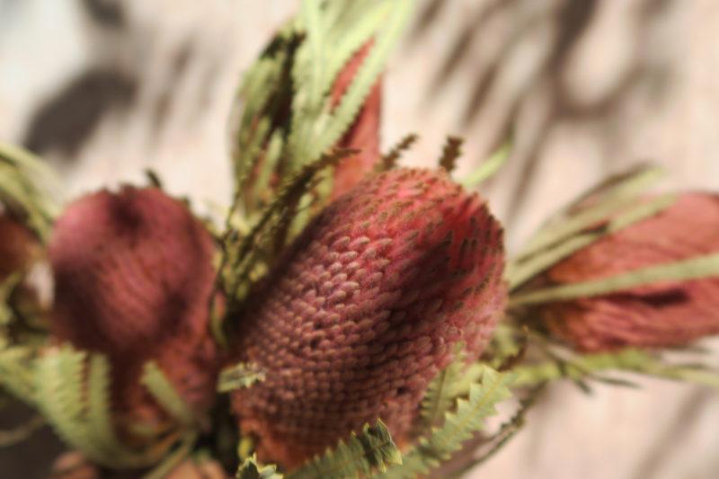 banksia fleurs séchées exotique afrique du sud