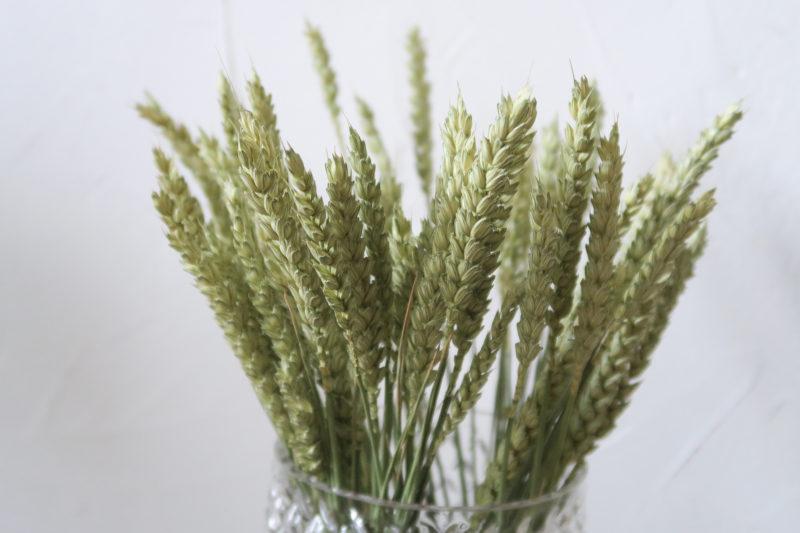 blé séché vert