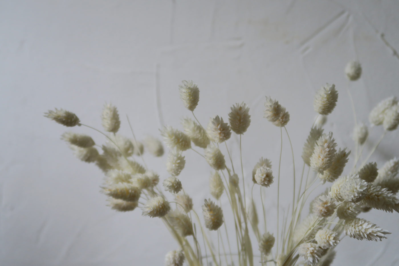 phalaris blanc