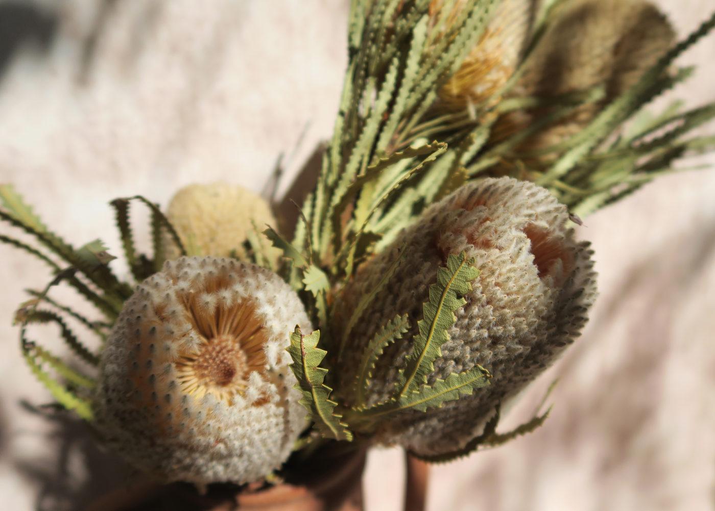 banksia beige fleur exotique séchée