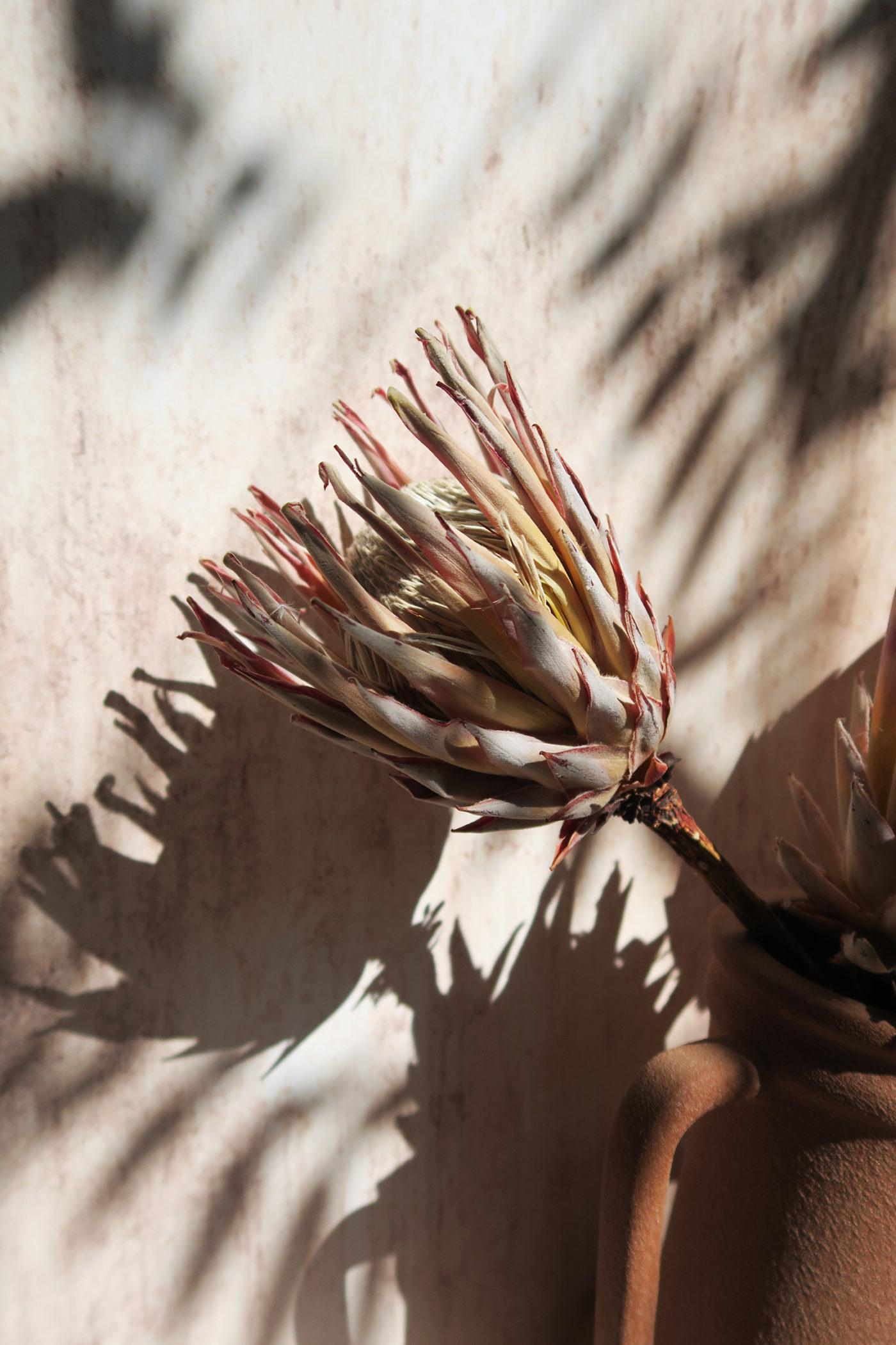 protea king séché fleur exotique